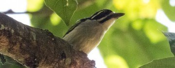 Yellow Rumped Tinkerbird